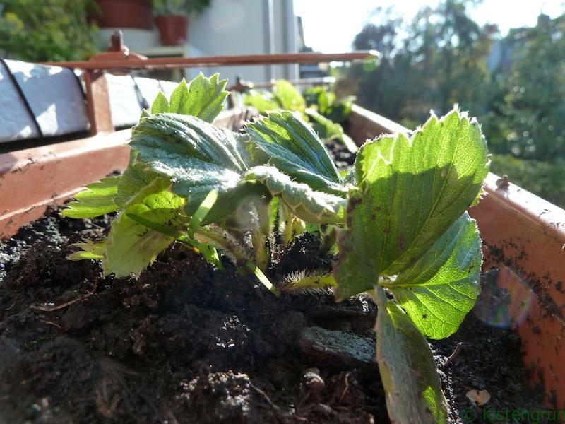 Abgelegt und eingepflanzt
