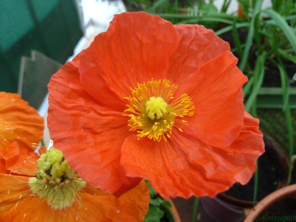 Orangenefarbene Blüten des Islandmohn