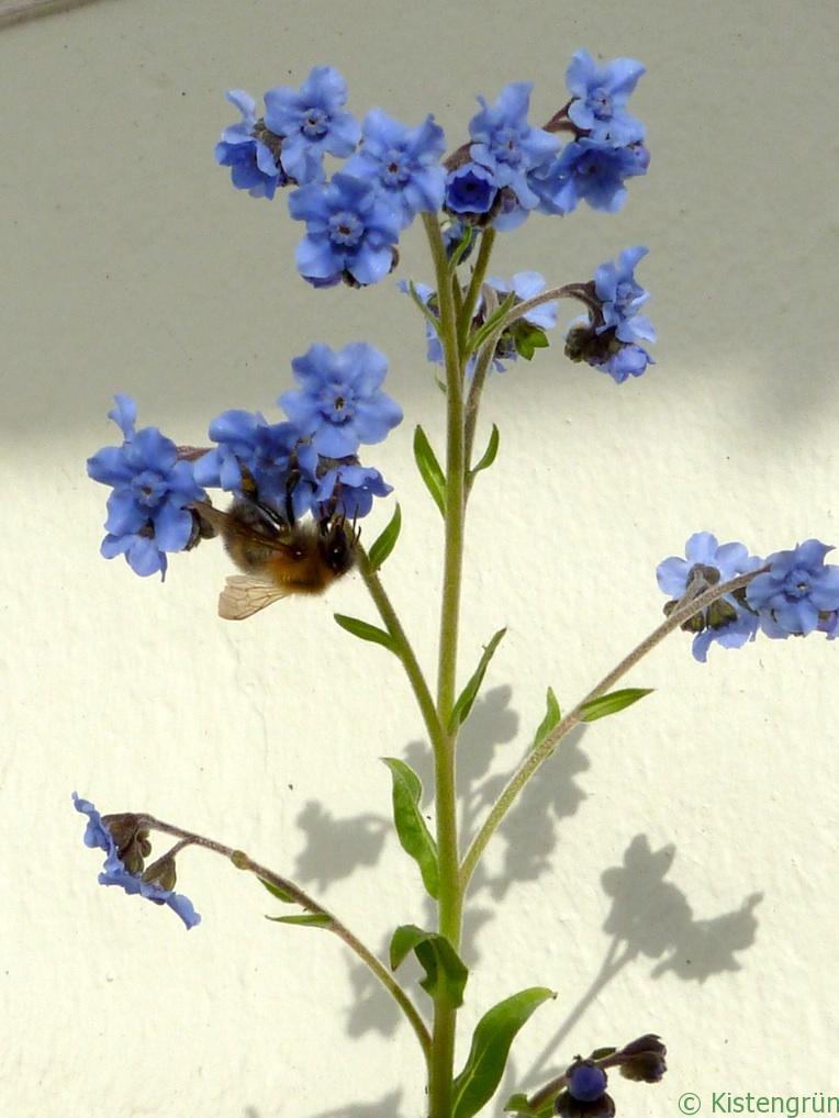 Eine Biene auf der Suche nach Nektar des Chinesischen Vergissmeinnnicht.