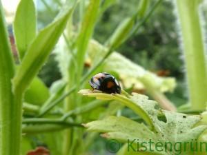 Ein schwarzer Marienkäfer mit orangenen Punkten