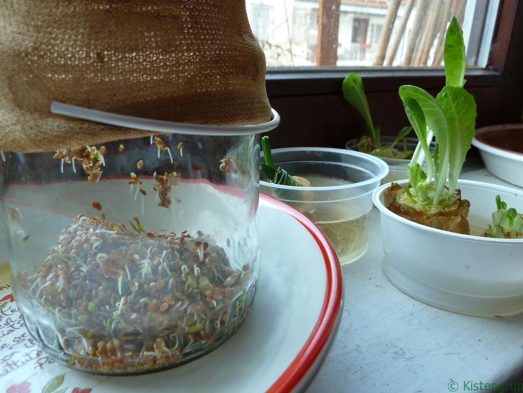 Auf der Fensterbank: Ein Glas mit Sprossen und Salate