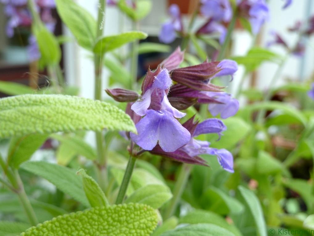 Die violette Blüte des Salbei (salvia officinalis)
