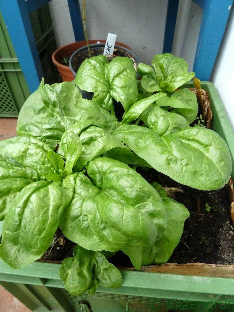 Fertig für die ERnte: Spinat, den ich im August nach eurem Voring angebuat hatte.