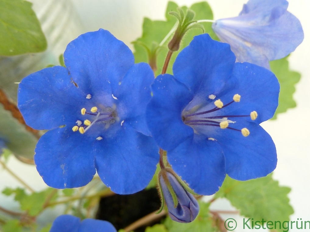 BlaueBlume5_(c)kistengruen