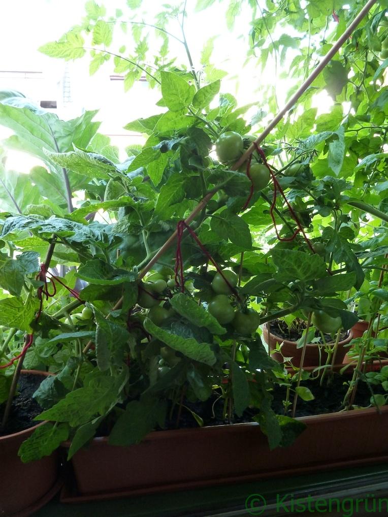 Der Tomatentrieb einer reichlich Früchte tragenden Tomatenpflanze ist abgebrochen.