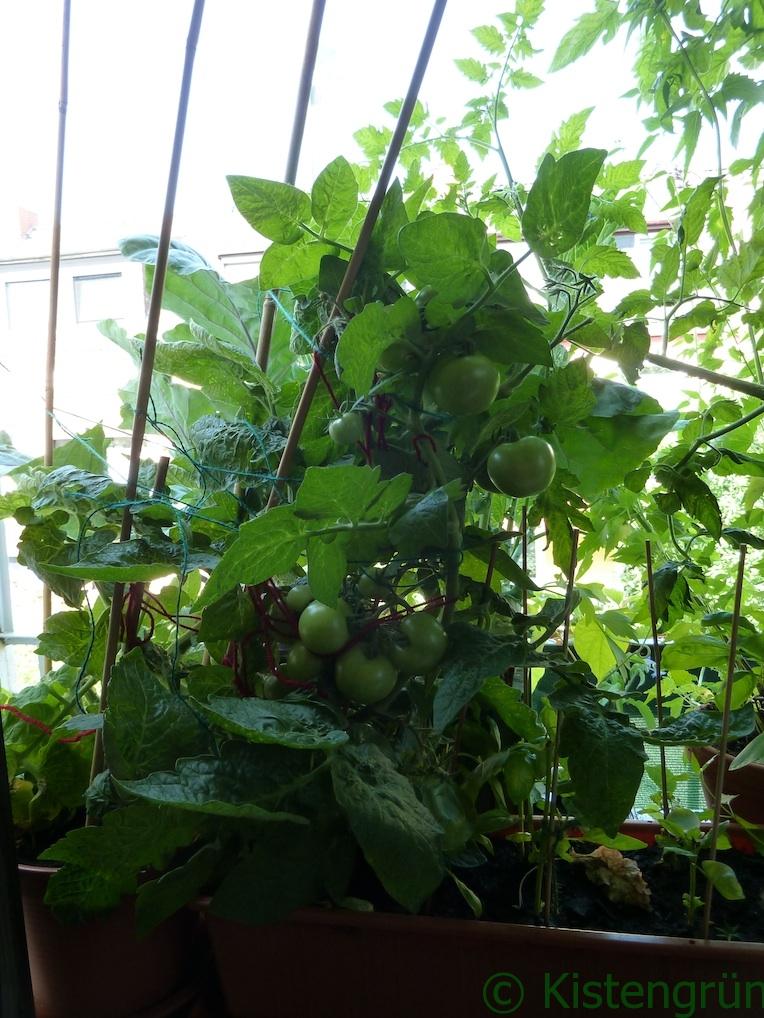 Der abgebrochene Haupttrieb der Tomate wird von weiteren Bambusstäben abgestützt.