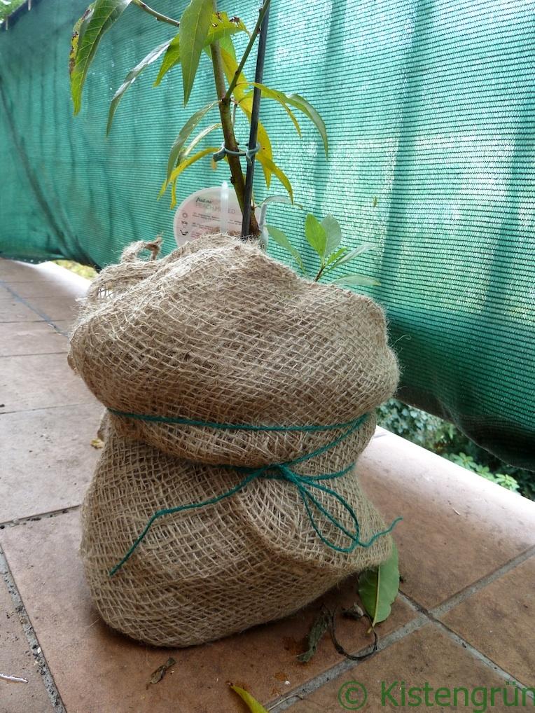 Eine Pfirsichbaum wir mit enem Jutesack umwickelt.