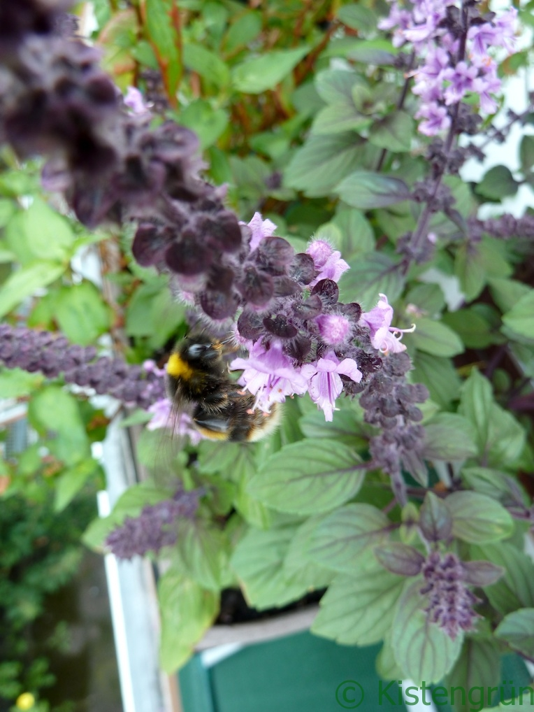eine Biene nascht Nektar an der violetten Blüte des Strauchbasilikum