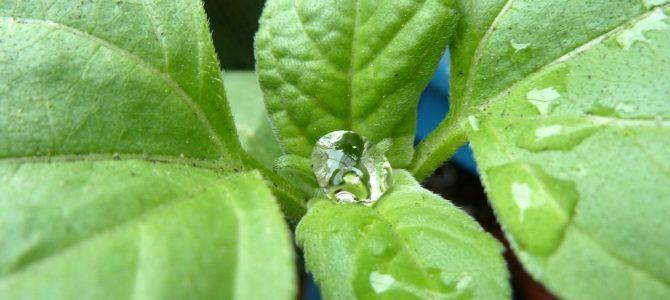 Zwischen zwei Regenschauern: Impressionen aus dem Balkongarten