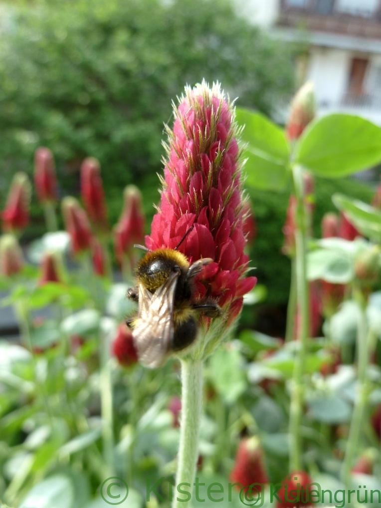 eine hummel trinkt nektar an der roten blüte des Inkarnat-klee