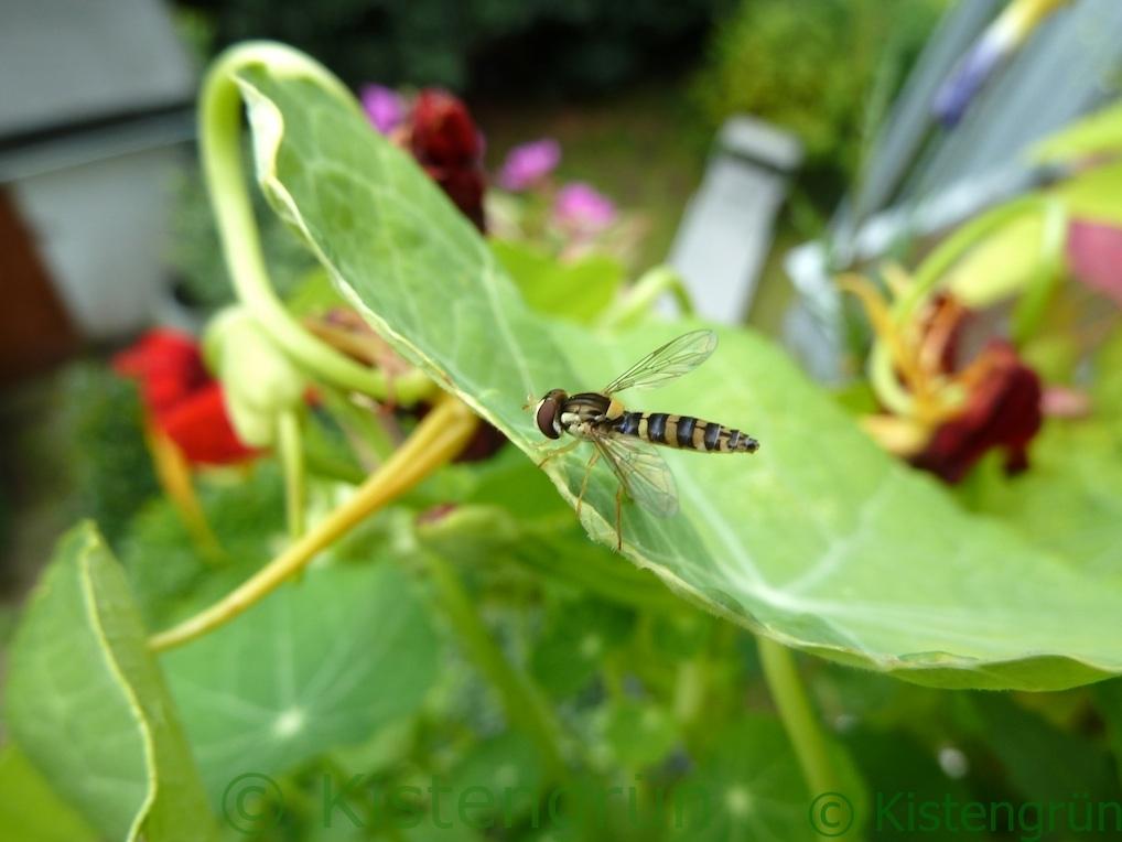 Schwebfliege auf Kapuzinerblatt