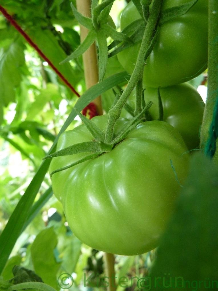 Grüne Tomaten der Sorte Berner Rose