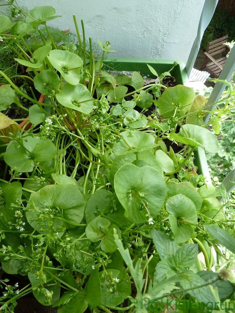 Winterpostelein in einer Gemüsekiste