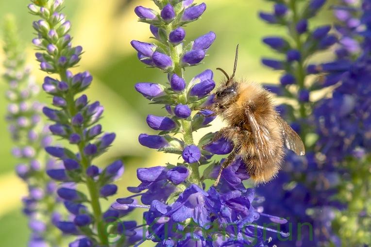 Biene an der Blüte des Langblättrigen Ehrenpreis