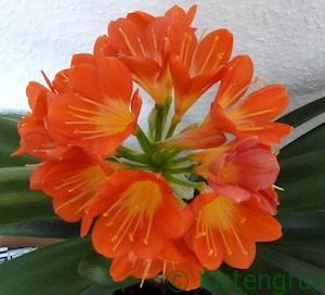 Orange-rote Blütenpracht