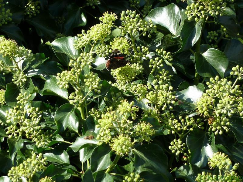 Efeu bietet Bienenund Schmetterlingen im Herbst wichtige Nahrung.