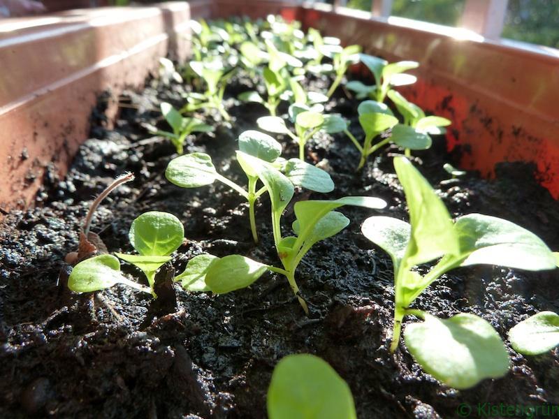 Feldsalat wächst in einem Balkonkasten