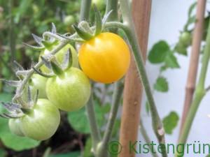 Grüne und gelben Tomaten an einer Rispe
