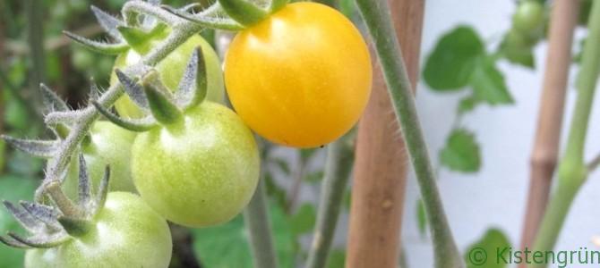 Wann sind die Tomaten reif?