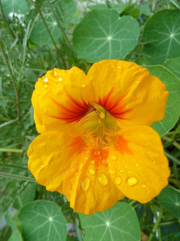 Blüte von Kapuzinerkresse im Regen