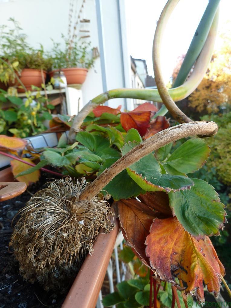 Kistengrüne Woche: Zwiebel im Herbst