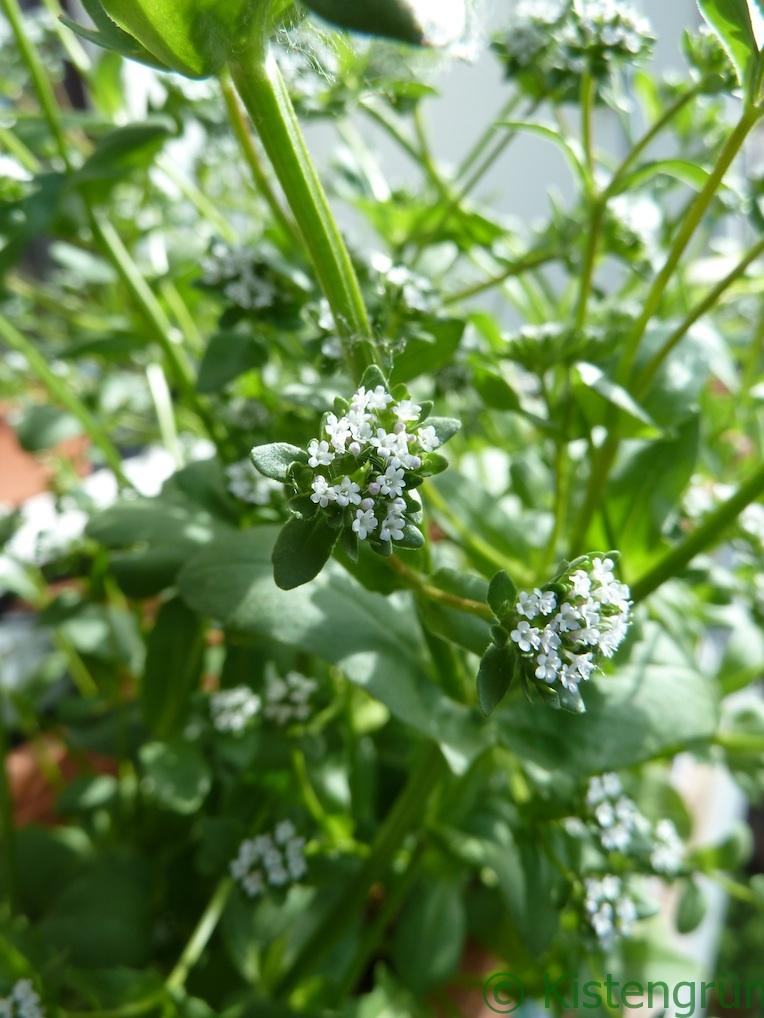 Die weißen Blüten des Feldsalat