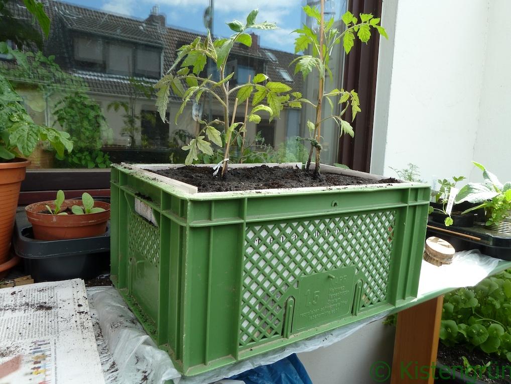 Zwei Tomaten sind in eine grüne Bäckerkiste gepflanzt worden.