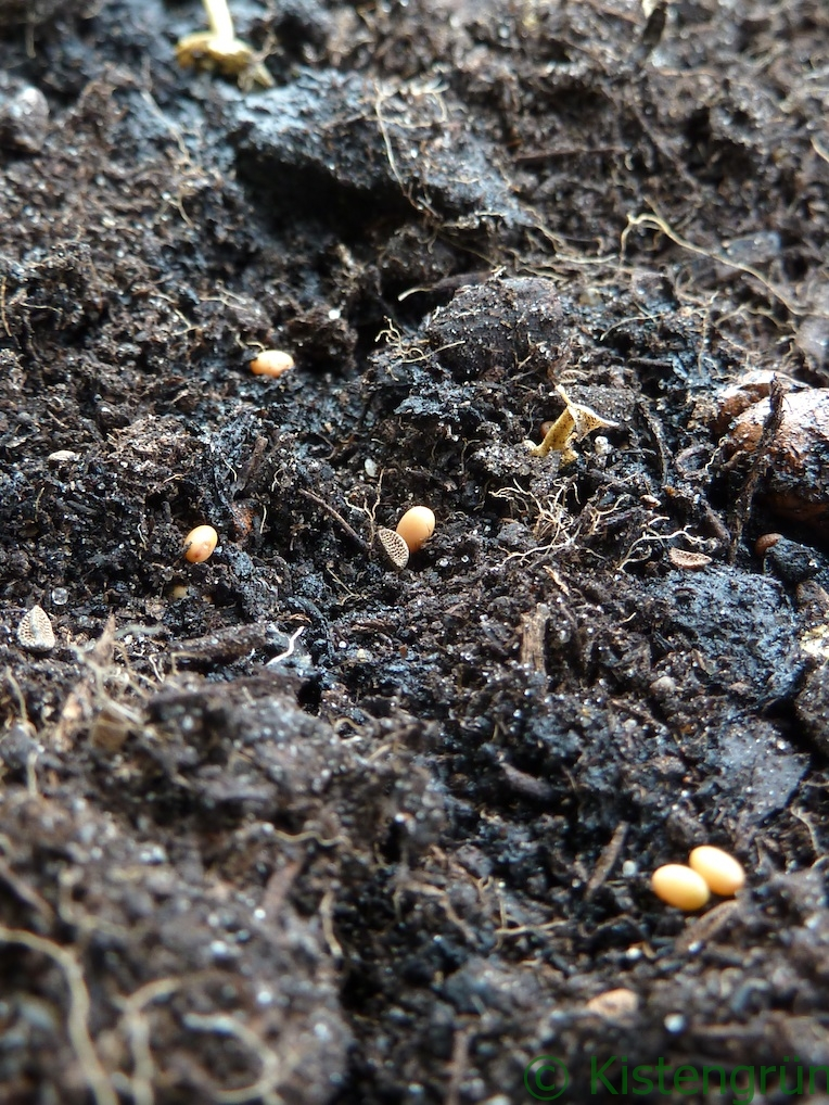 Samen in Erde