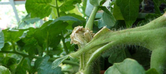 Was tun, wenn die Tomatenpflanze abgebrochen ist?
