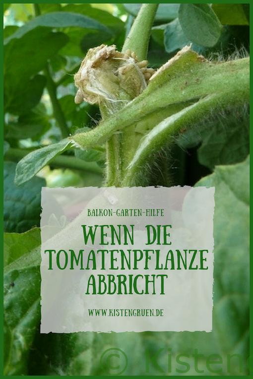 tomatenpflanze abgebrochen