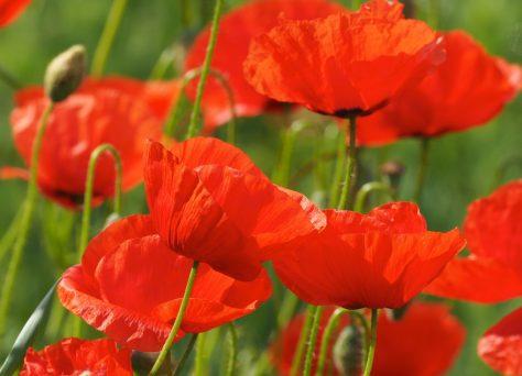 Rote Klatschmophnblüten im grünen Feld