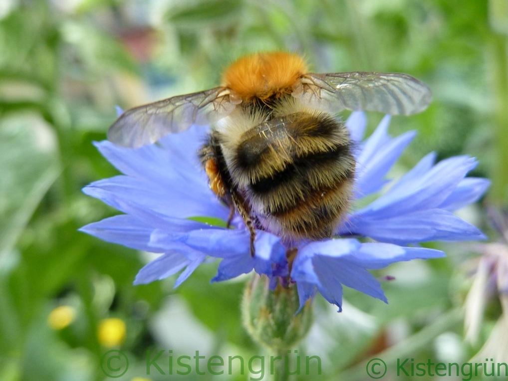 Hummel auf einer blauen Kornblume
