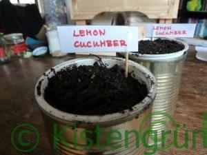 Eine Joghurtbecher in einer KOnservendose. Mit ERde gefüllt une einem Schild, auf dem Lemon Cucumber steht