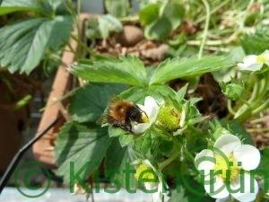 Eine Biene bestäubt eine Erdbeerblüte in einem Balkonkasten