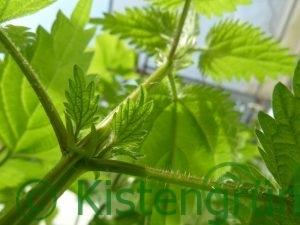 Brennnessel-Pflanze