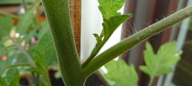 Tomaten ausgeizen: Warum ihr Geiztriebe entfernen solltet