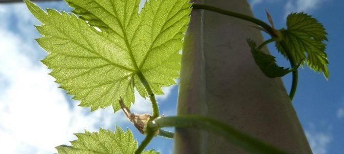 Schattenspendende Pflanzen: Hopfen
