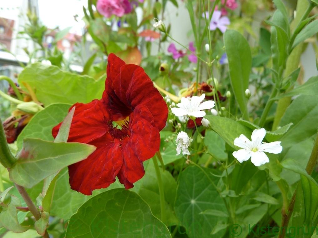 rot blühende Kapuzinerkresse und weiße Lichtnelke