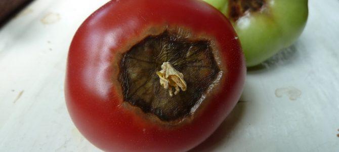 Blütenendfäule: Wenn Tomaten faulen