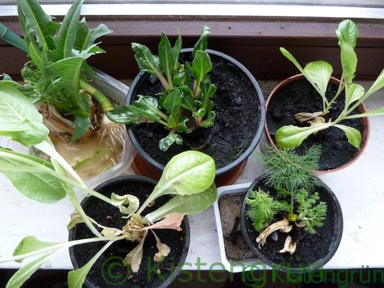 Grün aus Gemüseresten auf der Fensterbank ziehen
