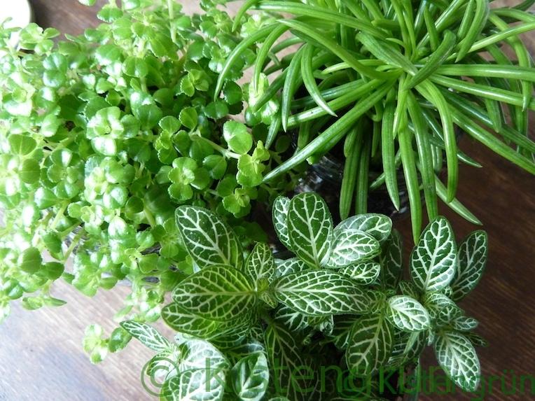 Pflanzen im Glas: Kanonierblume, Fittonie und Geiskraut.