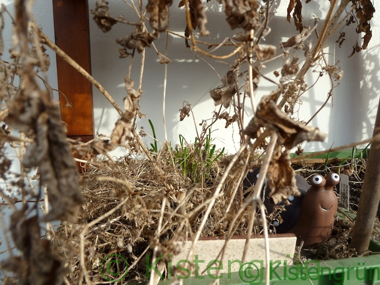Schnittknoblauch im Frühling