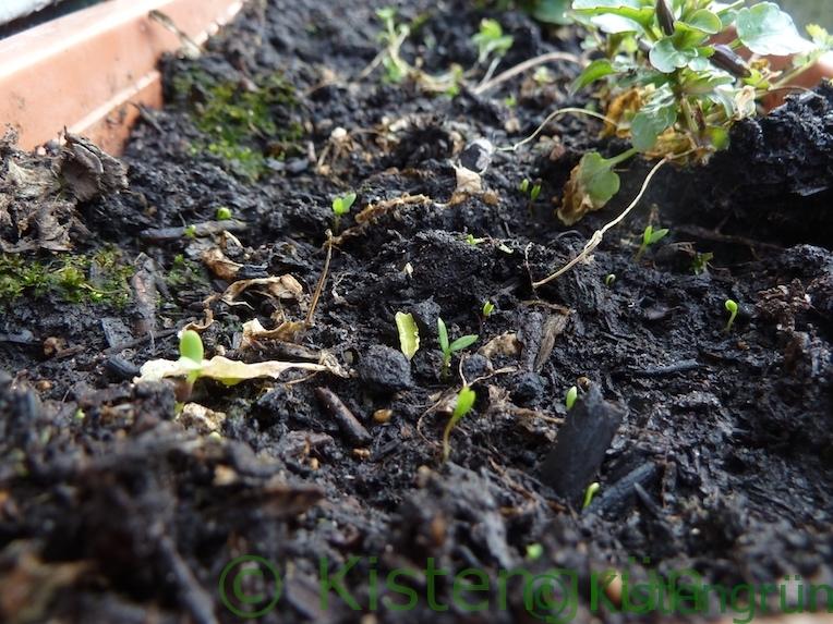 Keimenden Spinat im Blumenkasten
