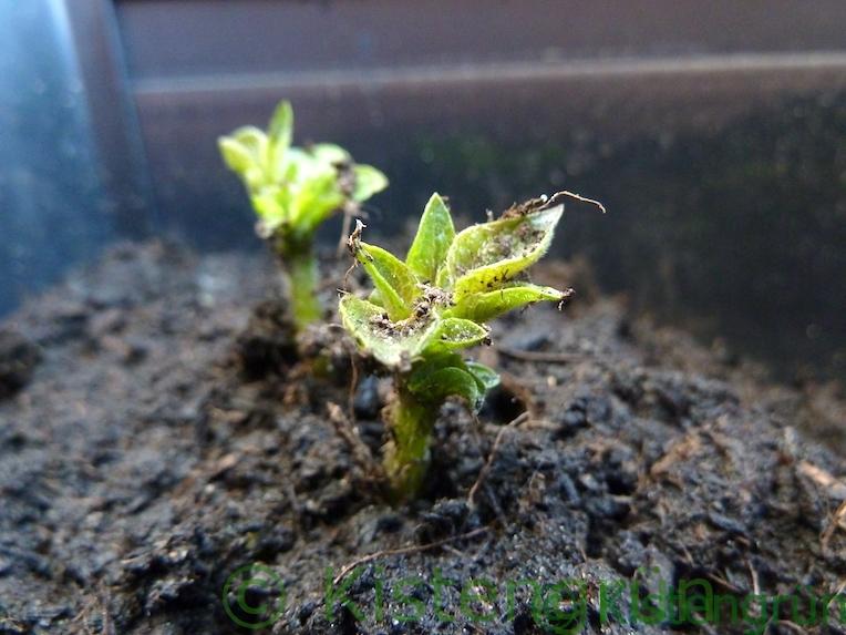 Kartoffeln im Topf anbauen: Kartoffeltrieb guckt aus der Erde