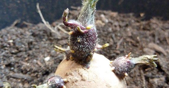 Kartoffeln im Topf anbauen: setzen