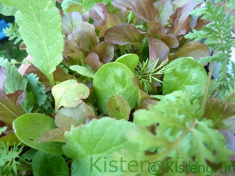Balkonkasten mit Salat, Spinat und Phacelia