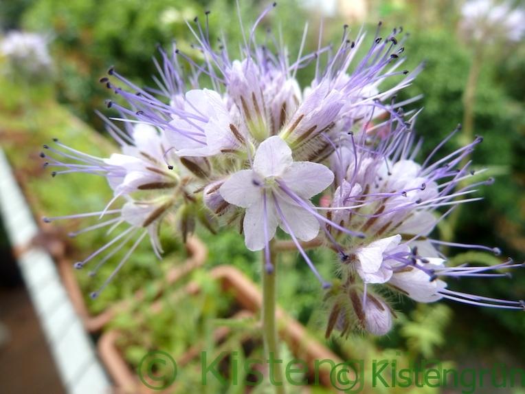 die violetten Blüten der Phazelia