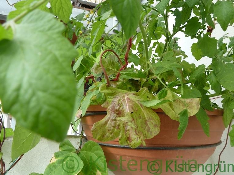 Tomate und Salat in einem Balkonkasten