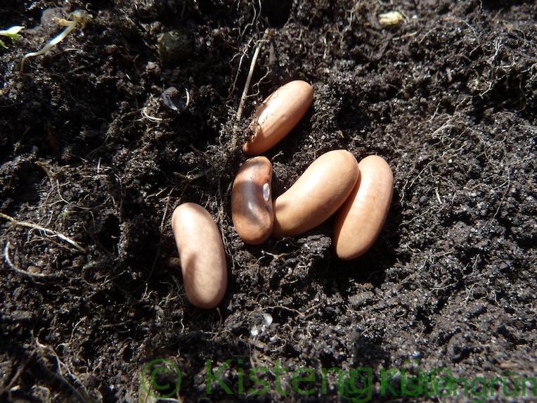 Buschbohnen-Samen liegen auf Erde