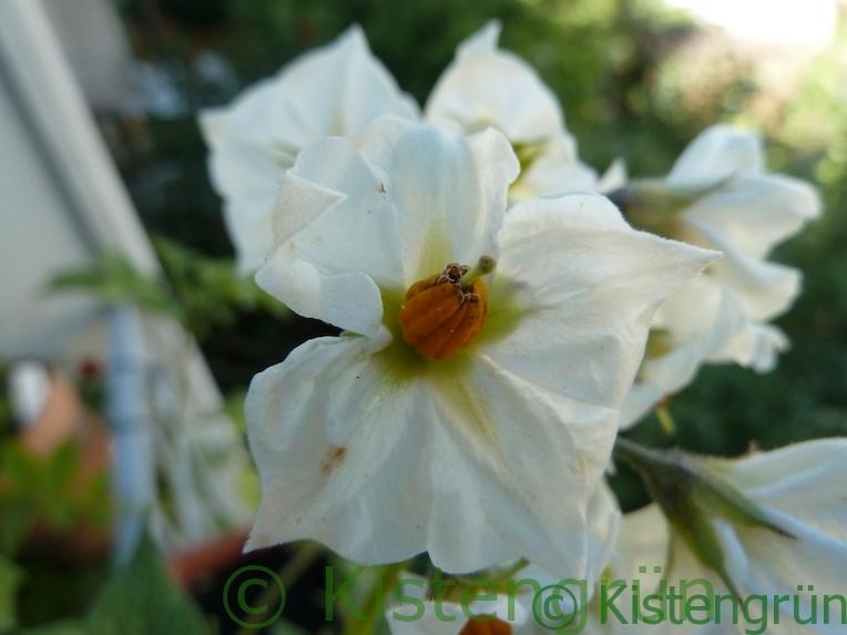 Kartoffel Blüte der Sorte Blaue Anneliese